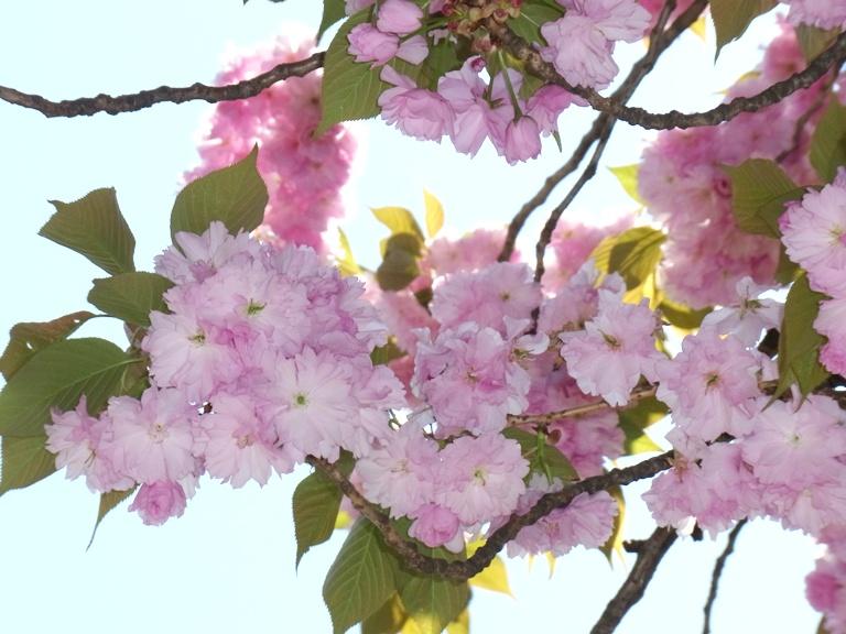 myogadani-sakura1.JPG