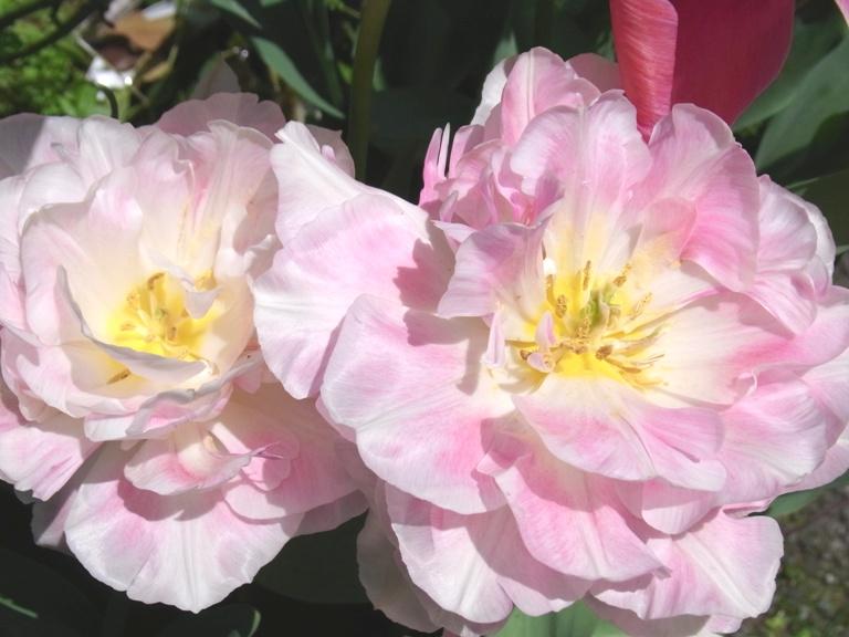myogadani-tulip1.JPG